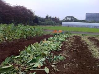 収穫した里芋を道路の寄せるの図