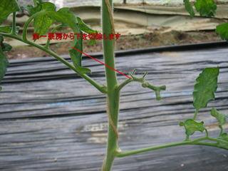 トマトの第一果房の下を切除の図