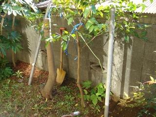 木斛の抜根作業