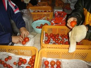 トマトの出荷作業