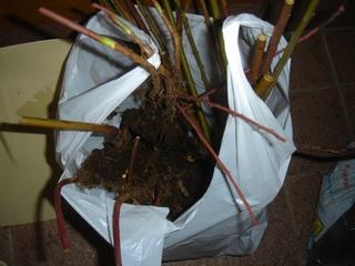 ブルーベリーの苗を定植
