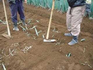 ネギの葉を畑に埋めました。有機肥料です。