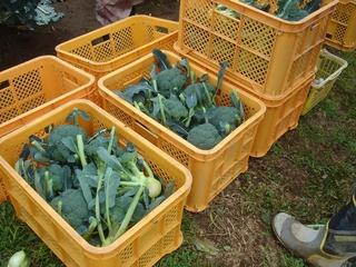 ブロッコリーの収穫。4パレット分集まりました。