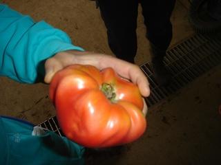 ホルモン処理を2回行ってしまったトマト果実