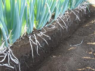 ネギの根が出るくらいまで土を掘り起こします。