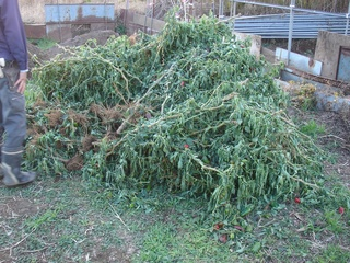 堆肥置き場に廃棄されていたナス科の農産物