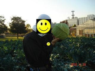 キャベツ収穫の図