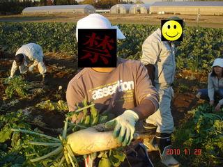 セクシー大根の収穫