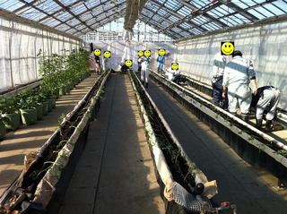 トマトの定植作業