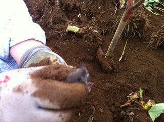 Hさん野ネズミ収穫するの図