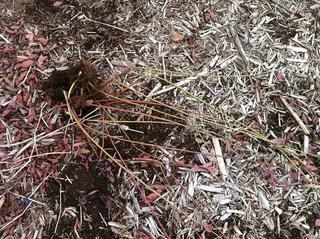 つくばブルーベリーゆうファームで農業体験