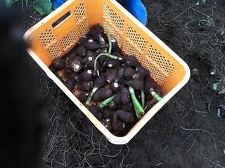 ひげ根を落として里芋収穫